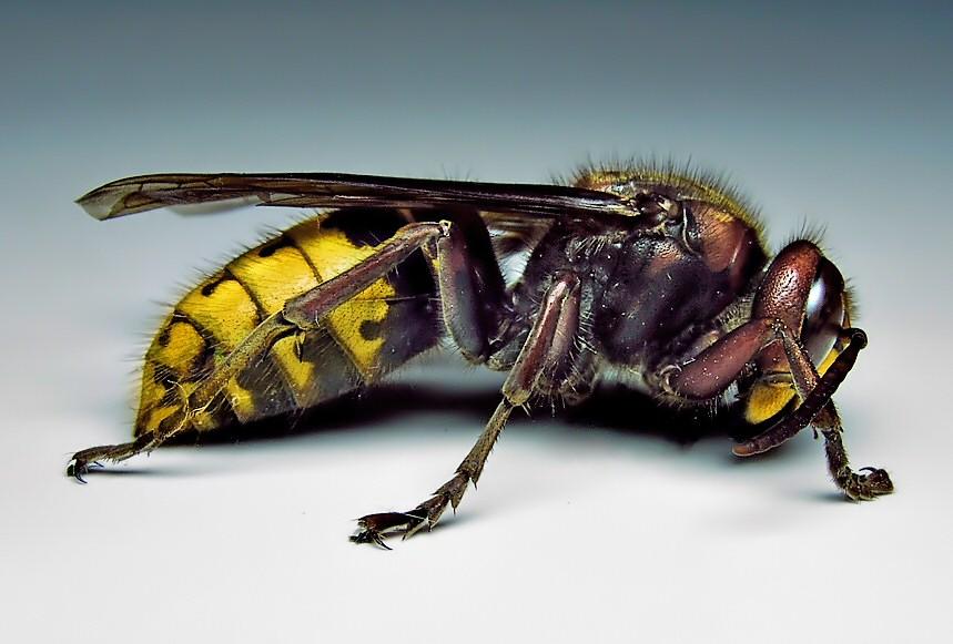 Hornet Pest Control Manchester